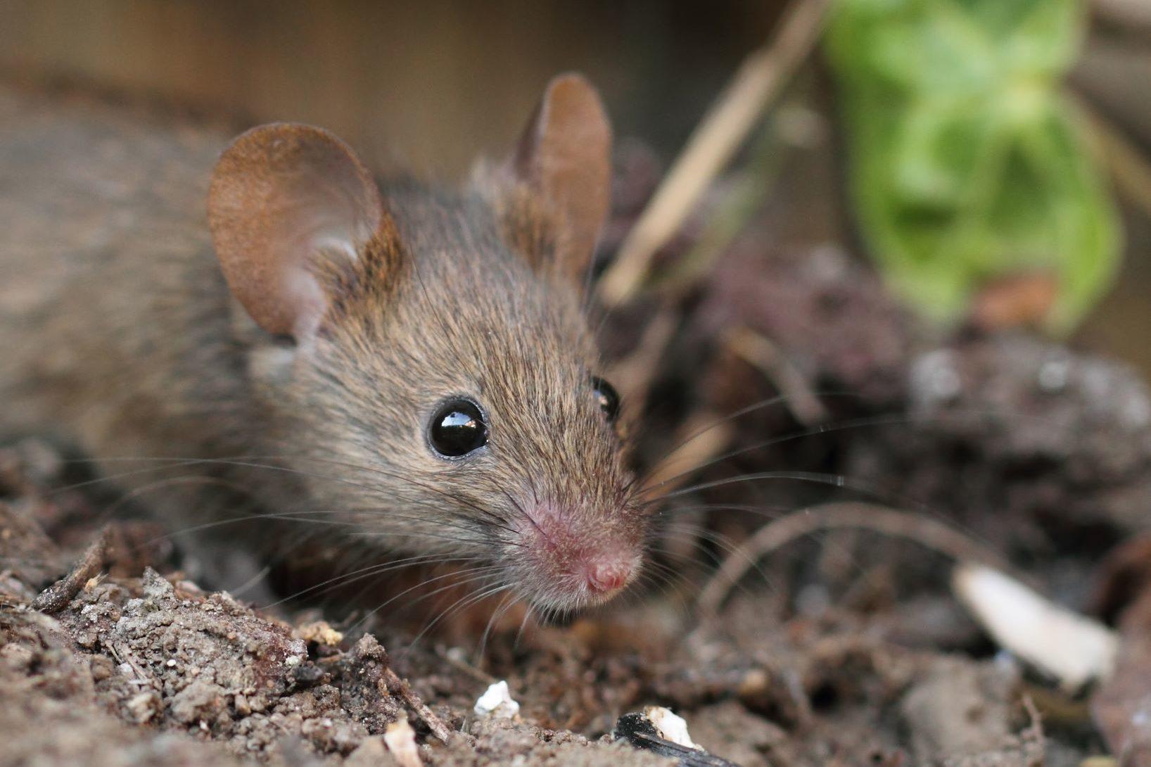 Muis buiten