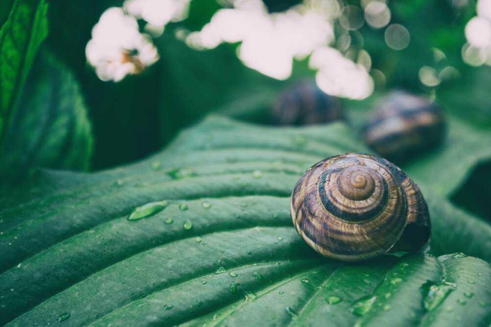 Snail leaf